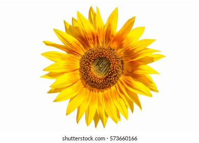 Isolated big yellow sunflower (front view) on white background