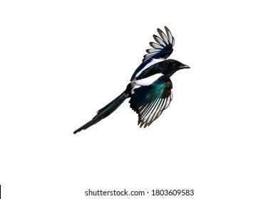 Isolated bird. White background. Bird: Eurasian Magpie. Pica pica.