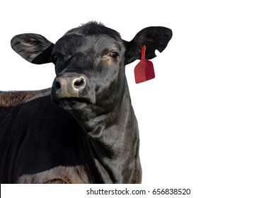 Isolated black Angus heifer head, neck and shoulders