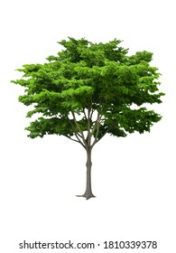 isolated black ebony tree with clipping path on white background or die-cut green leaf ebony tree for garden decoration and environment conservation