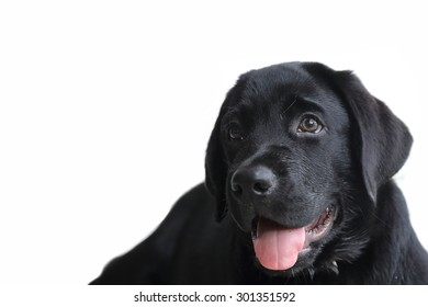 isolated black labrador puppy on white background