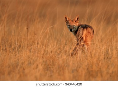 Isolated Black-backed Jackal, Canis mesomelas, in motion in the dry grass of savanna lit by early morning sun, staring directly at camera. Orange colours and blurred background.