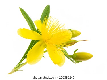 Isolated blossom of a hypericum flower