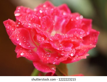 Isolated blossoming small red rose in the garden with water drops after rain. Surface tension. Good morning.