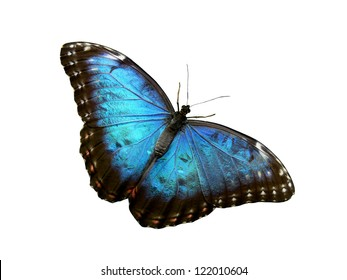 Isolated Blue Butterfly with Wide Spread Shimmering Wings