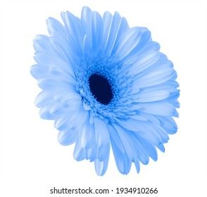 Isolated blue flower close-up for design. Gerbera