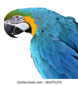 Isolated Blue and Gold Macaw