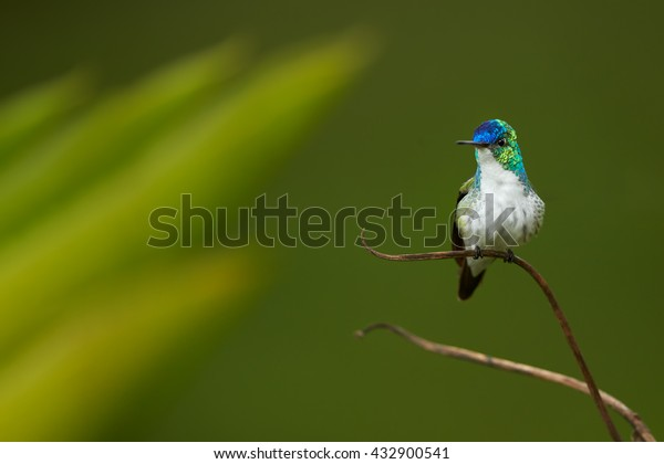 Isolated, blue and green hummingbird with white breast, Andean emerald, Amazilia franciae, perched on stem with drops of water against blurred green leaves in background.Front view, Tatama, Colombia.