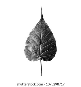 Isolated bodhi leaf in back and white tone