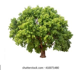 Isolated Bodhi tree on white background