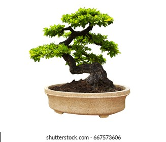 Isolated bonsai tree on a white background, Old green tree.Beautiful tree.Ancient tree.Suitable for home and garden decoration.clipping path.