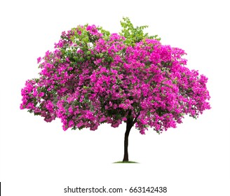 Isolated Bougainvillea on white background