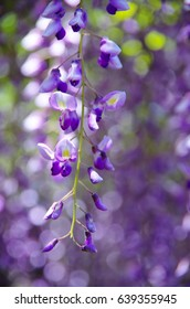 isolated branch of beautiful hanging purplish Wisteria