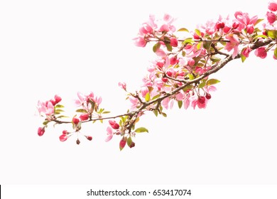 Isolated branch of elegant pink apple blossoms against a white background