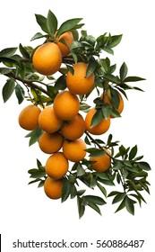 isolated  branch orange  tree  fruits