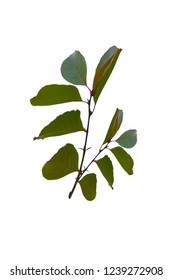 Isolated branch of a tree with green leaves on white background.