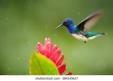 Isolated, bright blue and green hummingbird, White-necked Jacobin,Florisuga mellivora hovering over red ginger flower with raindrops, Alpinia purpurata. Hummingbird in the rain. Montezuma, Colombia.