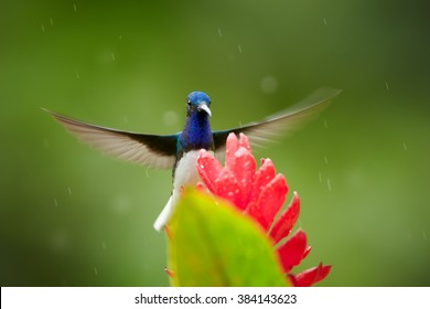 Isolated, bright blue and green hummingbird, White-necked Jacobin,Florisuga mellivora hovering over red ginger flower with raindrops, Alpinia purpurata,against abstract green background. Colombia.