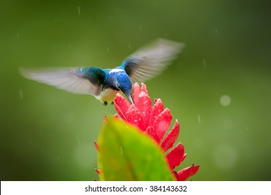 Isolated, bright blue and green hummingbird, White-necked Jacobin,Florisuga mellivora feeding on red ginger flower with raindrops, Alpinia purpurata,against abstract green background. Front view.
