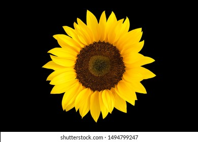 Sunflower Black Background High Res Stock Images Shutterstock