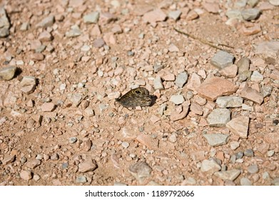 Isolated brown butterfly on the ground (Marche, Italy, Europe)