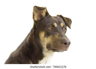 Isolated brown Dog looking something on white
