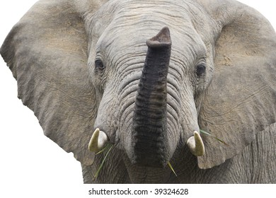 Isolated bull elephant smelling air.