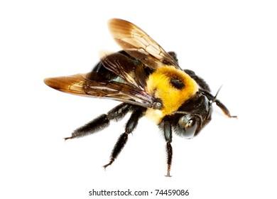 isolated bumblebee