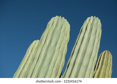 Isolated Cactus plant  in the desert. Close up thorns. Minimal design on colored background.