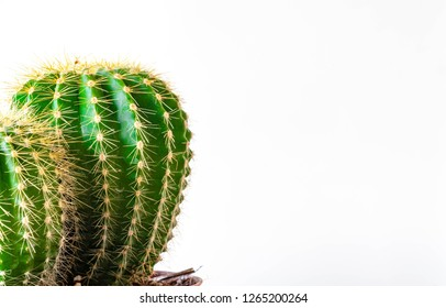Isolated cactus succulent on white banner background with  copy space for advertising and mock up. Business Growth, strength, resilience and defense concept