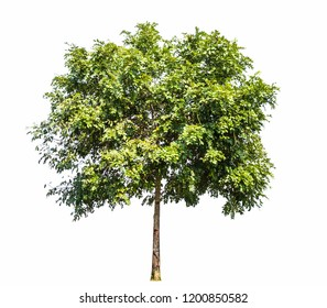 Isolated Cassia fistula trees on white background