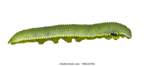 Isolated caterpillar of great orange tip butterfly ( Anthocharis cardamines ) on white with clipping path