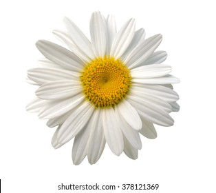An isolated chamomile flower