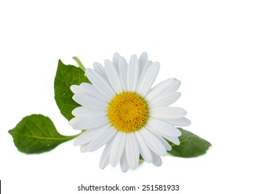 An isolated chamomile flower in America