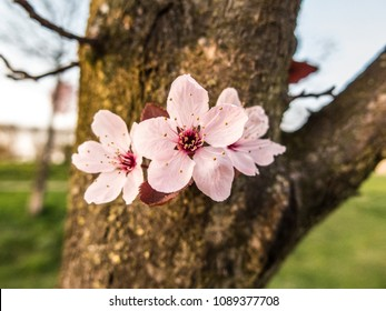 Isolated cherry flowers on Sakura tree