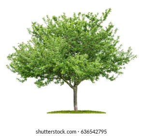 An isolated cherry tree on a white background