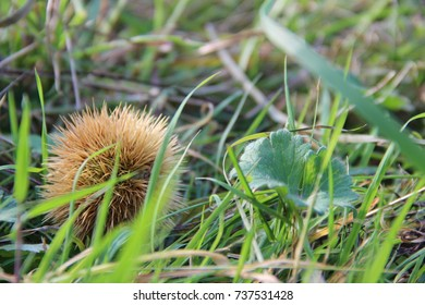 Isolated chestnut on grass