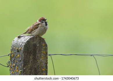 Isolated chirping sparrow perching on a fenced pole in the garden
