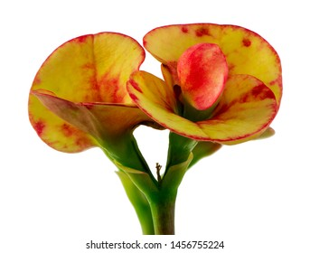Isolated christ thorn (euphorbia) flower