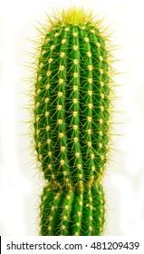 Isolated classic cactus