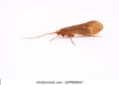 An isolated close up image of an adult Caddisfly. Large translucent wings and long antenna. Important food source for trout and salmon and imitated using synthetic materials in fly tying.