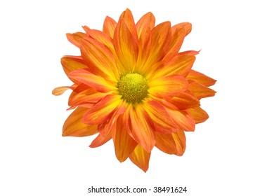 isolated close up orange chrysanthemum flower on white background