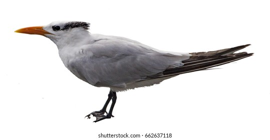 Isolated Close Up of a perching regal Royal Tern bird