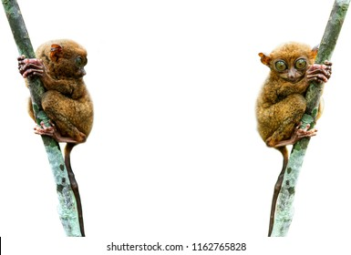 Isolated of close up Tarsier in the rainy forest in Bohol,Cebu,Philippine. It look around  by its big eye. It hang on a tree in front white background. It is isolated on white background,