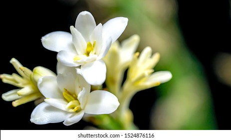 Isolated close up tuberose flower macro photography isolated on white background