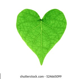 isolated closed up green heart shape  leaf on white background