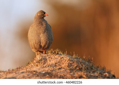 Isolated, close-up african bird Red-billed Francolin, Francolinus adspersus perched on top of soil pile, in colorful early morning light. Hwange national park, Zimbabwe.