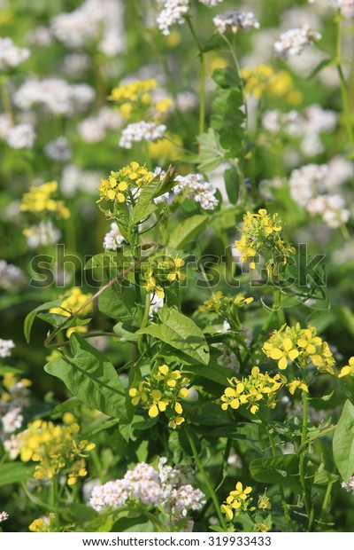 isolated close-up blooming grass in the field, the cultivation of green manure to fertilize the soil