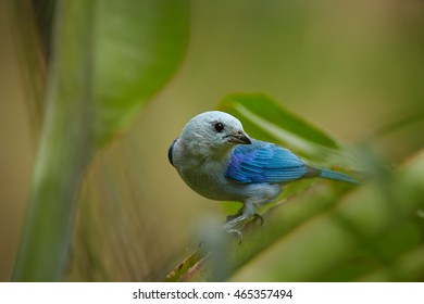 Isolated, close-up blue bird, Blue-gray Tanager, Thraupis episcopus on twig against green background with light spots bokeh. Trinidad rainforest. Trinidad and Tobago.