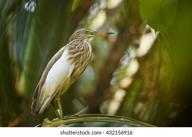 Isolated, close-up Indian Pond-heron, Ardeola grayii in mating season, perched on  palm leaf in colorful late afternoon sun against blurred green forest background. Sri Lanka.